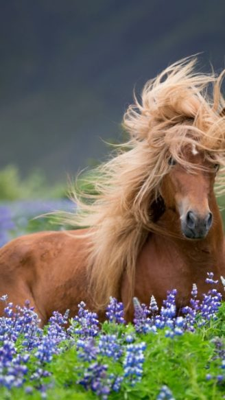 Purebred Icelandic horse in the summertime with blooming lupines, Iceland