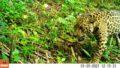 Cena rara de onça-pintada e filhote é registrada na Mata Atlântica